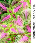 Small photo of red coleus close up for background