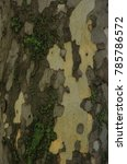 Small photo of Sycamore tree bark textured background. Colorful saturated bark. Platanus occidentalis