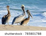 Brown Pelican Family On The...