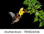orange nectar bat  lonchophylla ... | Shutterstock . vector #785826436