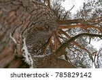 tree crown of pine tree in the... | Shutterstock . vector #785829142