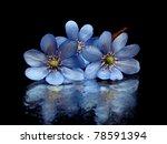 hepatica nobilis flowers on a... | Shutterstock . vector #78591394