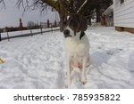 Small photo of Beautiful Gray and White American Foxhound/Staffordshire Terrier Mix Dog Sitting in the Snow