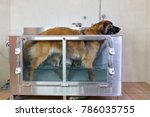 picture of a leonberger dog in... | Shutterstock . vector #786035755
