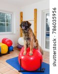 picture of a leonberger who... | Shutterstock . vector #786035956