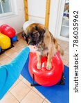 woman works with a leonberger... | Shutterstock . vector #786035962