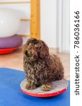 Small photo of Havanese sits on a wobble board in an animal physiotherapy office