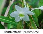 eucharis spp. single shoots are ... | Shutterstock . vector #786090892