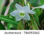 eucharis spp. single shoots are ... | Shutterstock . vector #786092062