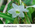 eucharis spp. single shoots are ...   Shutterstock . vector #786092068