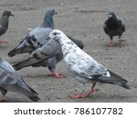 beautiful group of pigeons on...   Shutterstock . vector #786107782