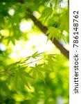 green leaf of japanese maple | Shutterstock . vector #786148762
