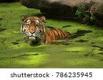 siberian tiger  panthera tigris ... | Shutterstock . vector #786235945