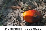 Small photo of African oil palm seed