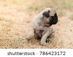 funny pug dog playing on grass... | Shutterstock . vector #786423172
