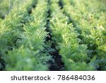 young sprouts carrots planted... | Shutterstock . vector #786484036