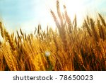 Sun flare in grain field - stock photo