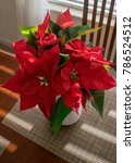 A Beautiful Red Poinsettia On A ...