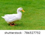 a white duck stand on the grass ... | Shutterstock . vector #786527752