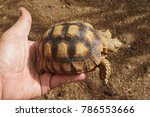baby tortoise on the hands of... | Shutterstock . vector #786553666