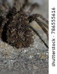Small photo of Wolf spider (Lycosidae) with her young on her back. Pajonales. Integral Natural Reserve of Inagua. Tejeda. Gran Canaria. Canary Islands. Spain.