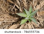 Small photo of Young shoot of Sonchus acaulis. The Nublo Rural Park. Tejeda. Gran Canaria. Canary Islands. Spain.