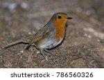 robin  erithacus rubecula... | Shutterstock . vector #786560326