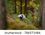 wild badger  meles meles in the ... | Shutterstock . vector #786571486