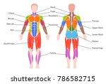 human muscular system. medical... | Shutterstock .eps vector #786582715