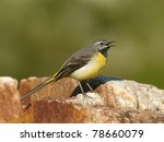 Gray Wagtail Perched On A Rock  ...