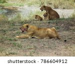 Lions With Bloodied Faces In...