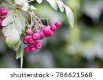 red rowan berry. bunch of red... | Shutterstock . vector #786621568