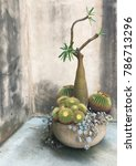 Small photo of Madagascar Palm (Pachypodium) growning in pot against rustic wall