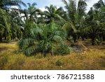 palm oil plantation   Shutterstock . vector #786721588