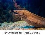 Moray Eel. Gymnothorax Miliaris