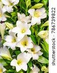 white lily flower in the garden | Shutterstock . vector #786739822