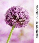 Allium Flower Head Detail ...