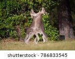 Two Boxing Kangaroos