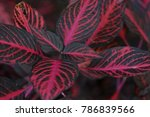 Fittonia Or Iresine Or...