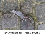 Dead Black Rat Against Paris...