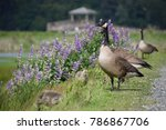 canadian geese watching over... | Shutterstock . vector #786867706