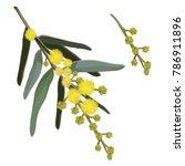 wattle flowering vector...   Shutterstock .eps vector #786911896
