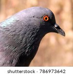 Beautiful Pigeon Isolated