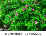 rose hip bush strewn with pink... | Shutterstock . vector #787002202