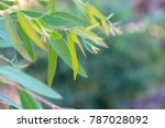 eucalyptus leaves. branch... | Shutterstock . vector #787028092