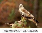 red kite. milvus milvus | Shutterstock . vector #787036105