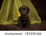 Stock photo the puppy is chocolate brown with yellow ribbon 787039186