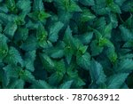 nettle leaves close up. top... | Shutterstock . vector #787063912
