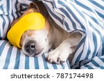 adorable napping dog in striped ... | Shutterstock . vector #787174498