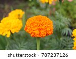 Close Up Of Beautiful Marigold...